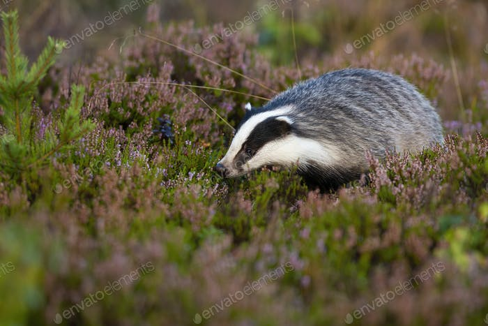 Fluffy european badger looking for food on violet moorland with heather