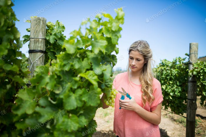 Young woman cutting grapes through pruning shears at vineyard