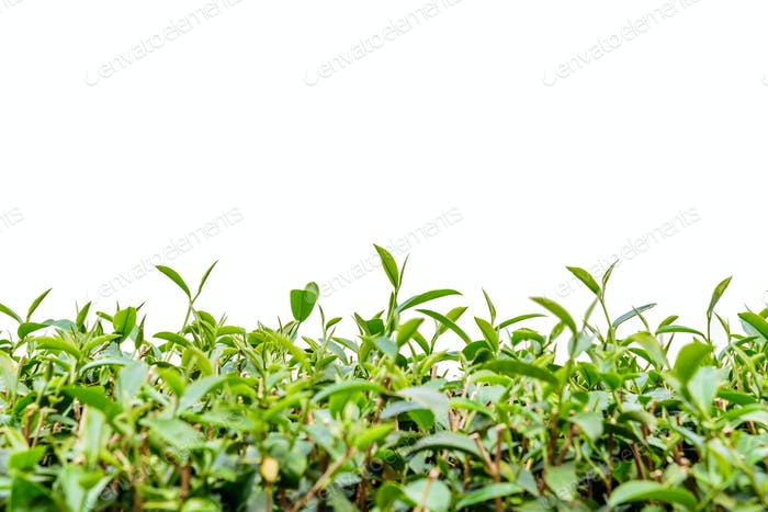 Green tea leaf isolated.