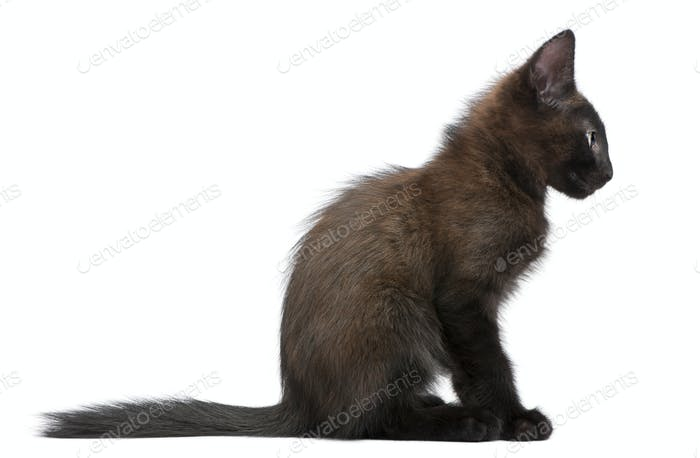 Black kitten sitting in front of white background
