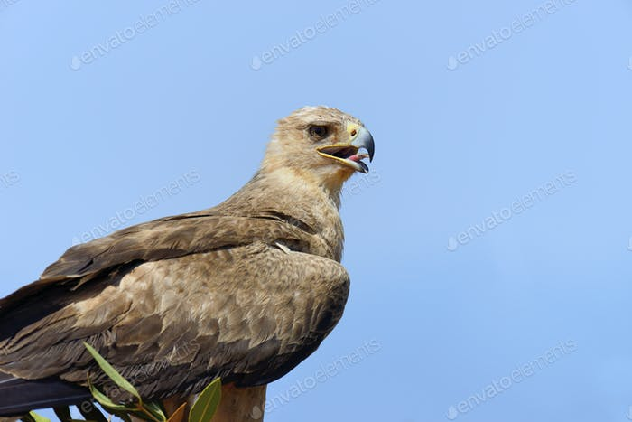 Tawny Adler (Aquila rapax)