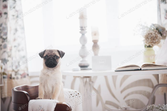 Pug puppy standing and looking at the camera