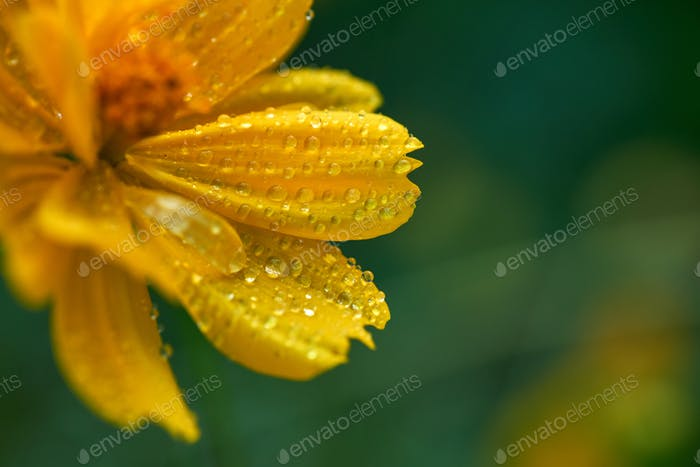 Close-up view of yellow cosmos flower in bloom