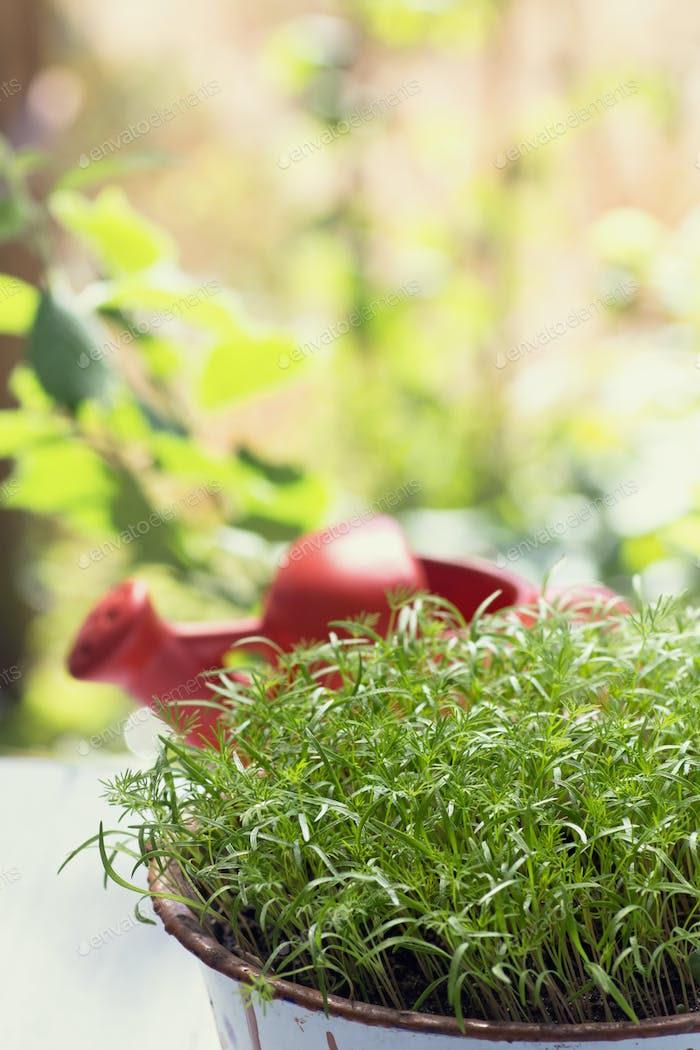 Potted dill herb
