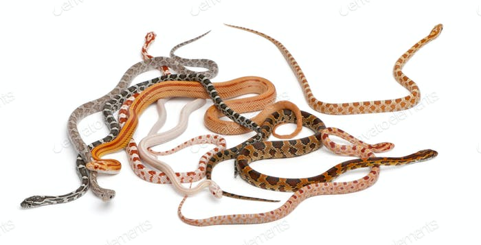 Scaleless Corn Snakes, Pantherophis Guttatus, in front of white background