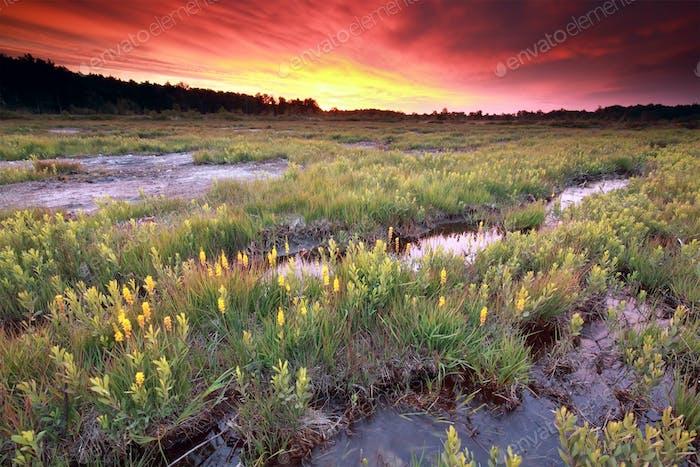 purple dramatic sunrise over  moorland with bog asphodel