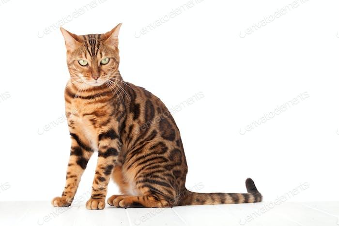 Bengal cat sitting on white wooden floor