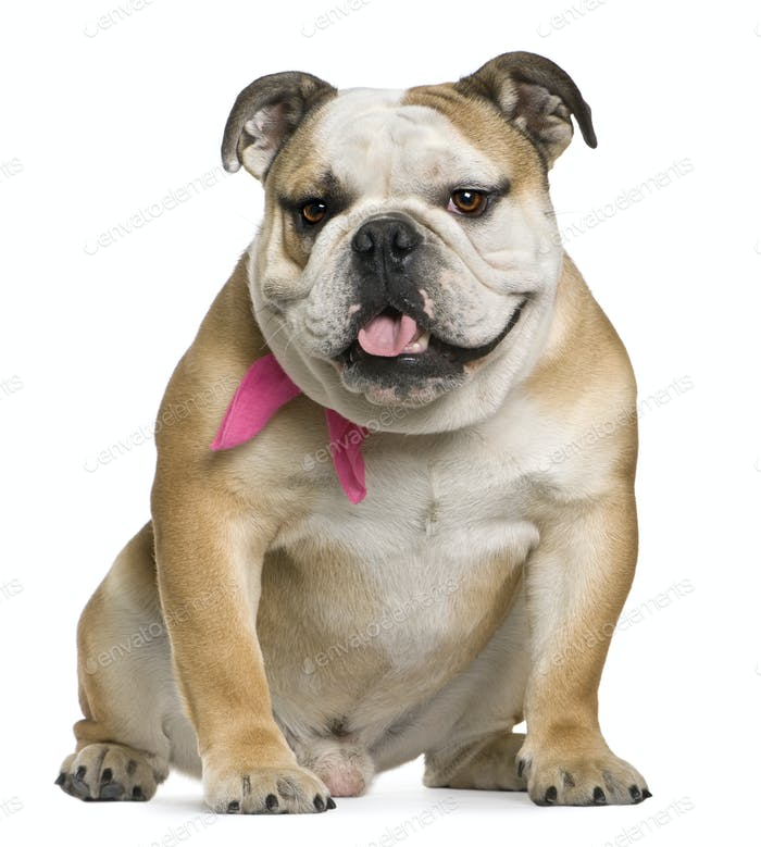 English bulldog, 11 months old, sitting in front of white background