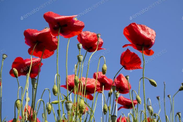 Die Mohnblume am Ende der Blüte