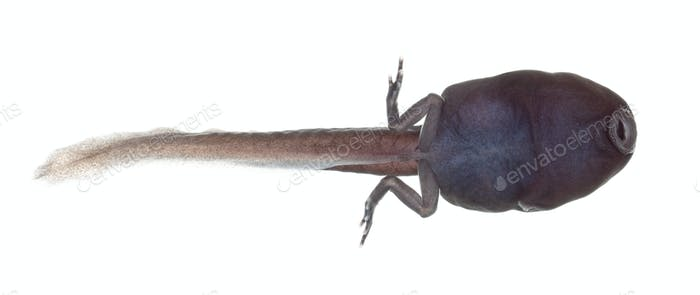 tadpole (also pollywog or porwigle) is the larval stage - of a