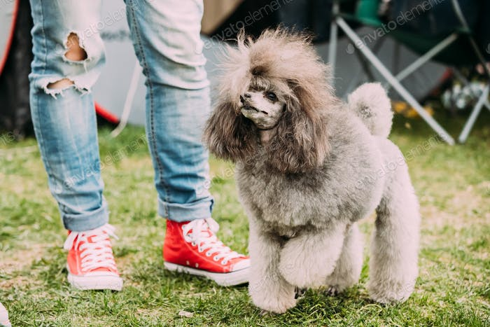 Gray Poodle Standing Near Woman Feet In Green Grass
