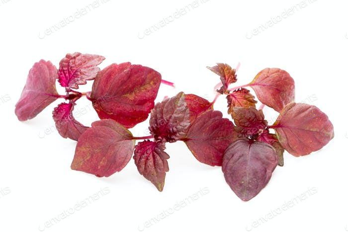 Perilla (Shiso) Leaf on white background.