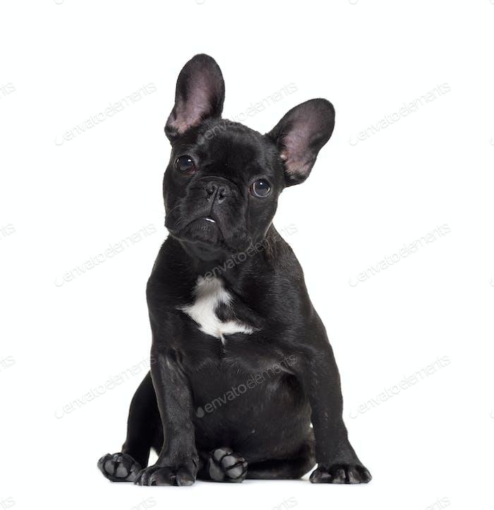 sitting French Bulldog, isolated on white