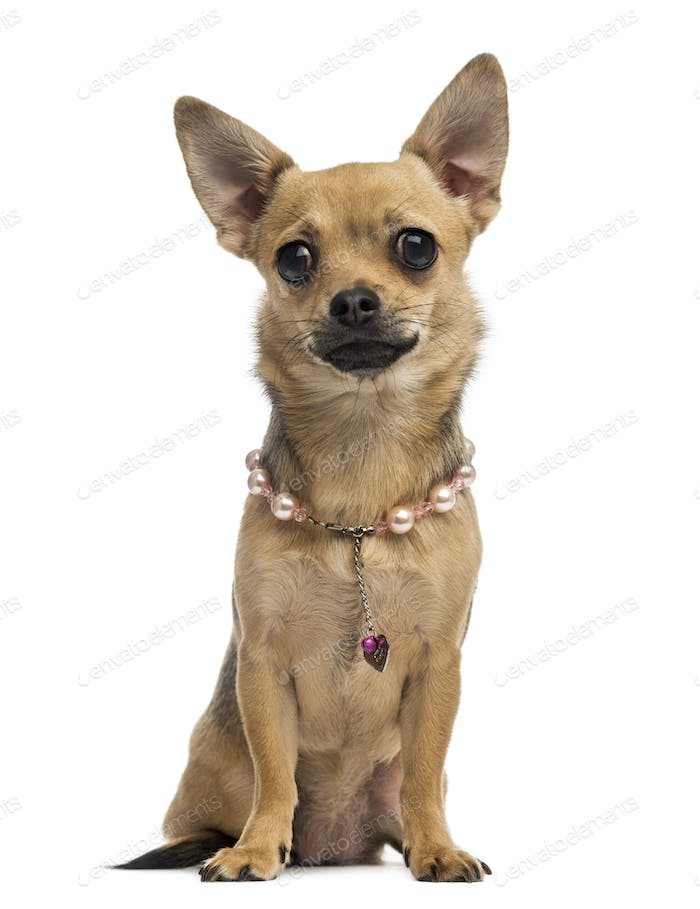 Chihuahua wearing a collar