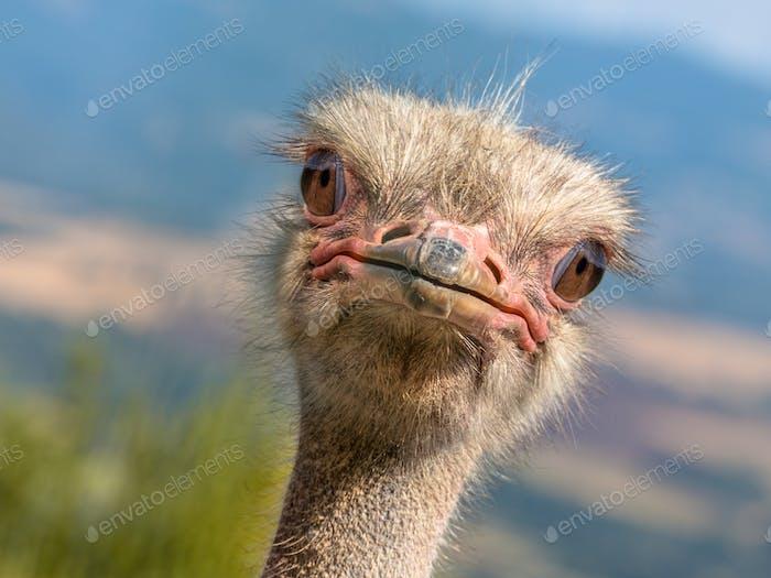 Potrait of an Ostrich diagonal