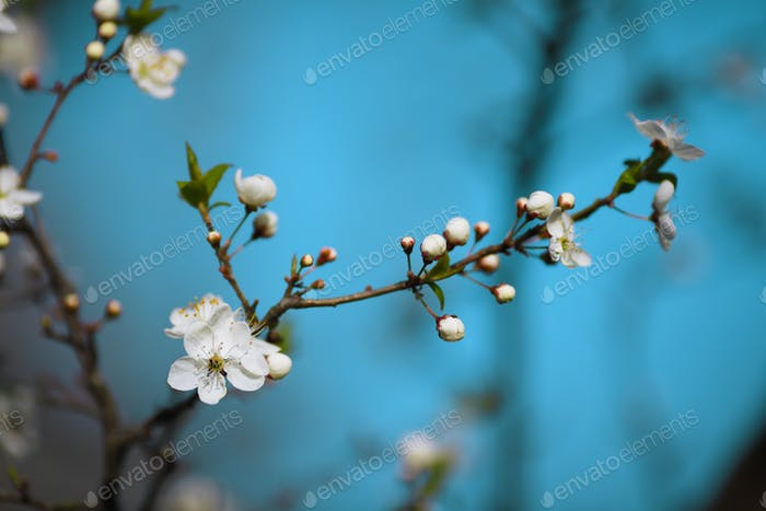 weiße Blumen blühen auf Ast, Frühling