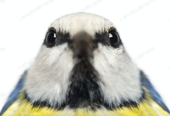 Close-up of a Blue Tit facing, Cyanistes caeruleus, isolated on white