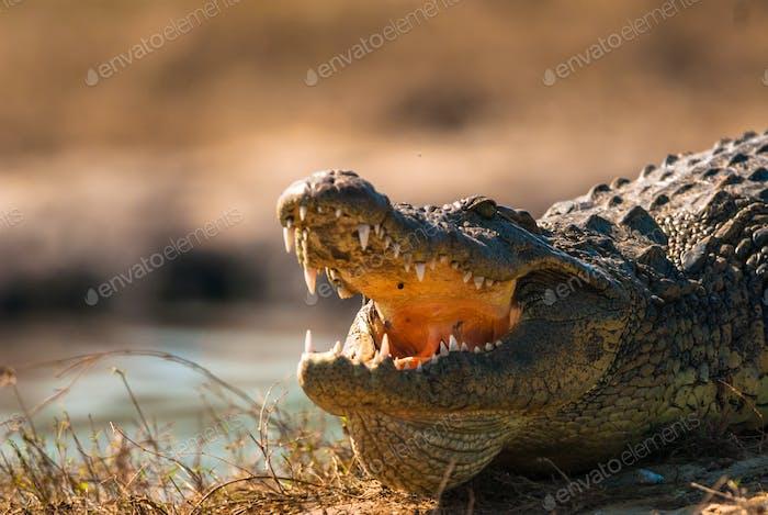 Krokodil-Entblößenzähne