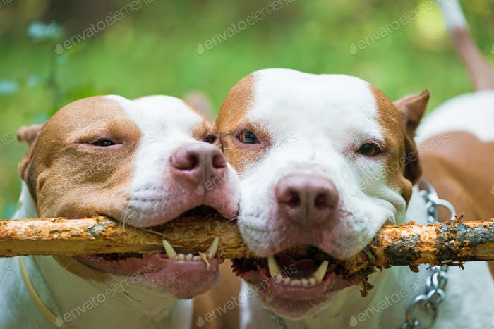 Adorable pit bulls biting wooden stick