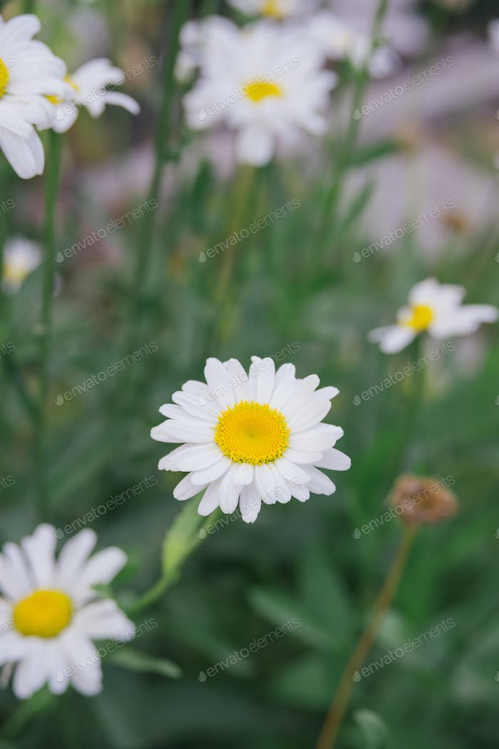 white daisy on green meadow gras background