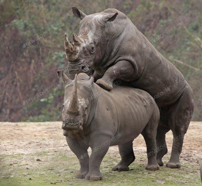 critically endangered African Black Rhinoceros in East Africa