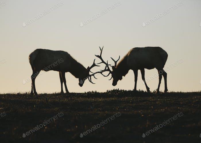 Silhouette of two Tule elk with locked antlers at dusk.