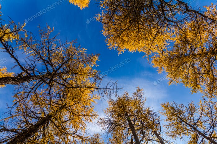Golden larch in the mountains against the blue sky in autumn