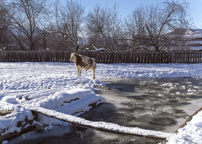 alonge cow stay near mountain river in the winter snowy time