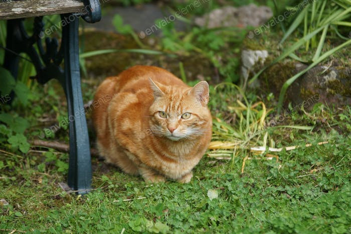 Domestic Ginger Tom Cat Relaxing in a Garden