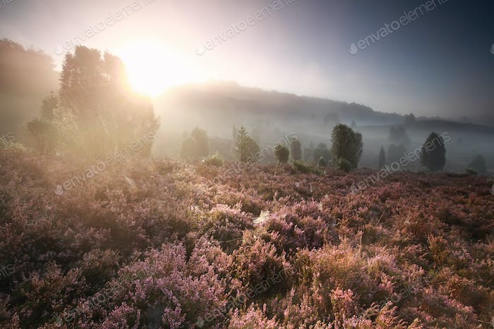 foggy sunrise over hills wirh heather flowers
