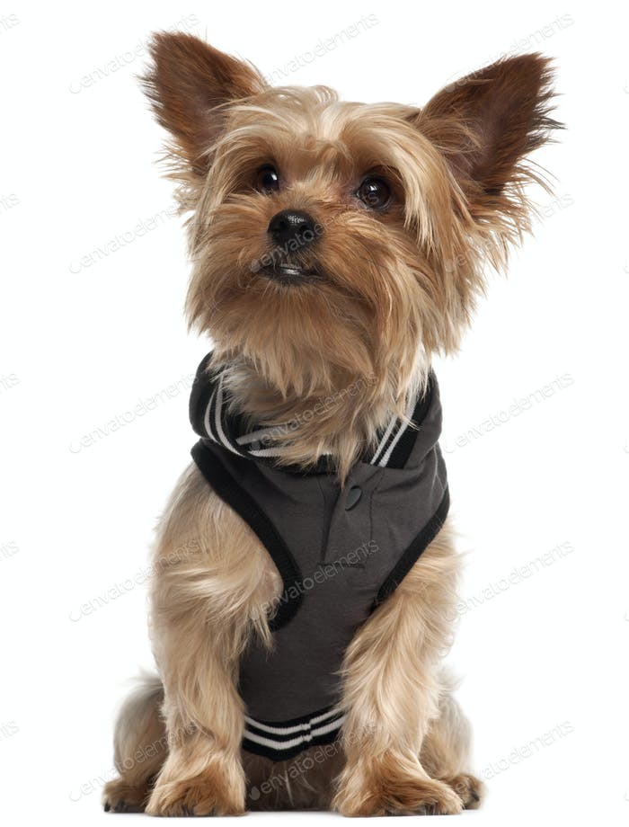 Yorkshire Terrier wearing vest and sitting in front of white background