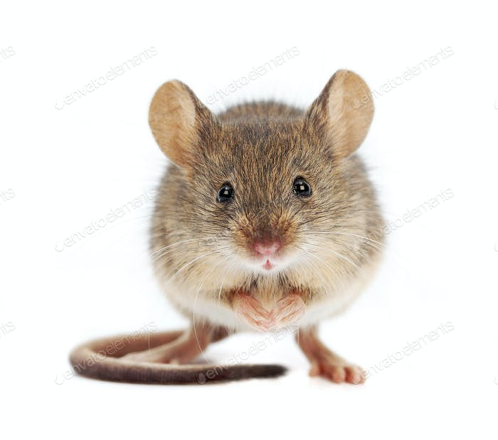 House mouse standing (Mus musculus)