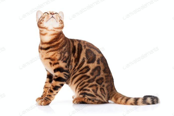 Bengal cat looking up