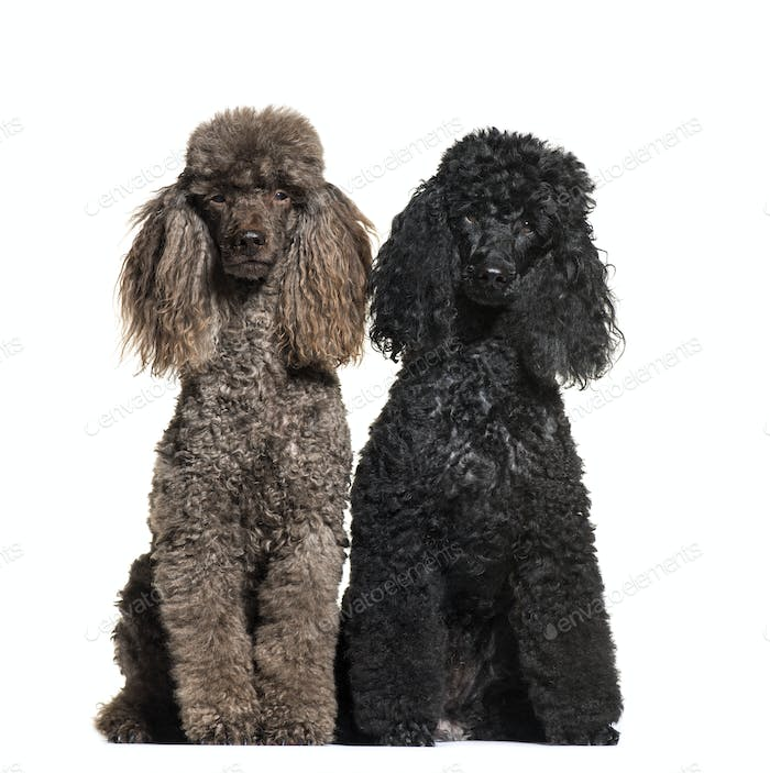 Poodle, 6 and 12 years old, sitting in front of white background