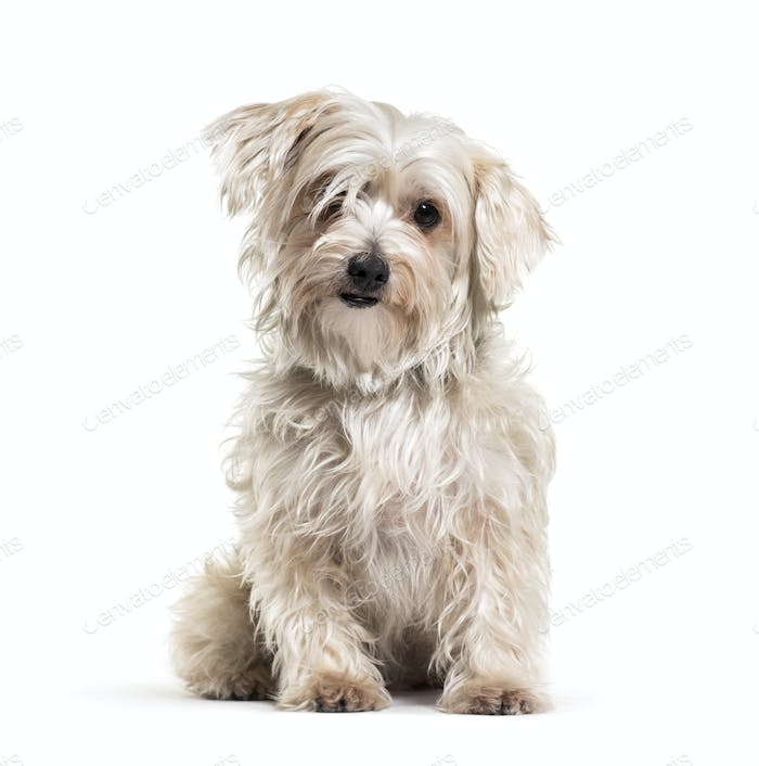 Shaggy sitting Mixed-breed dog, isolated on white