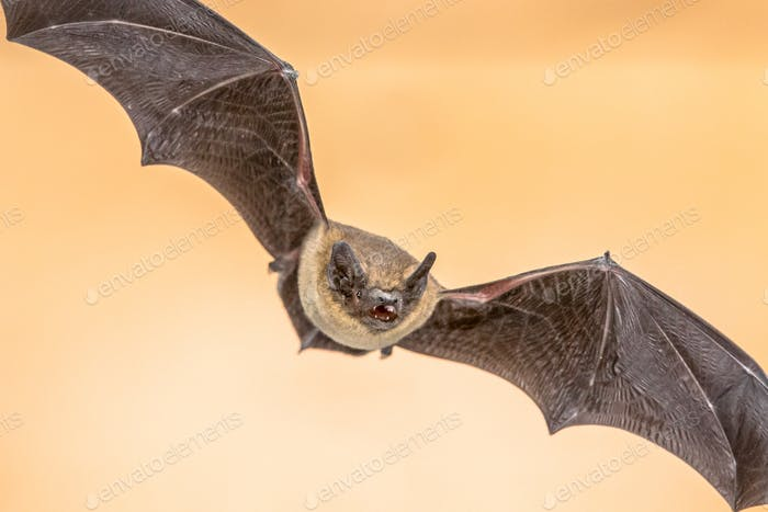 Flying Pipistrelle bat on brown background