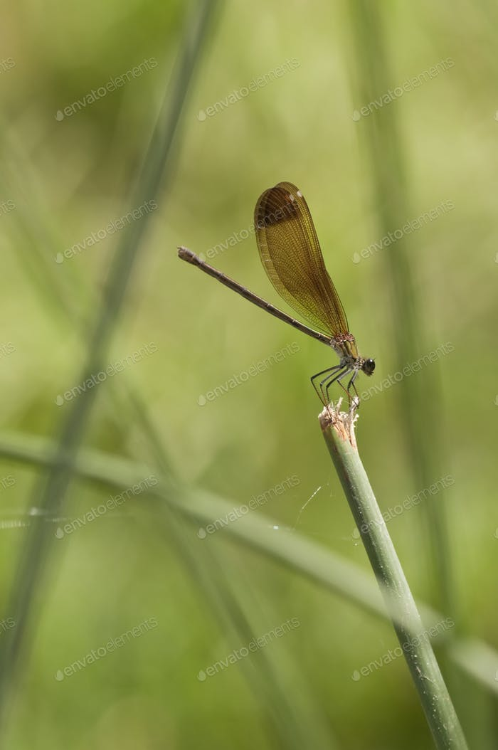 Damselfly on a Stick