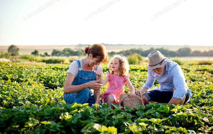 Senior grandparents and granddaughter picking strawberries on the farm