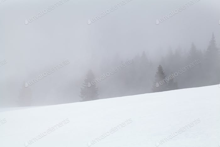 coniferous forest in fog and snow