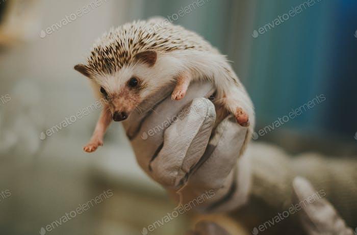 Little hedgehog portrait