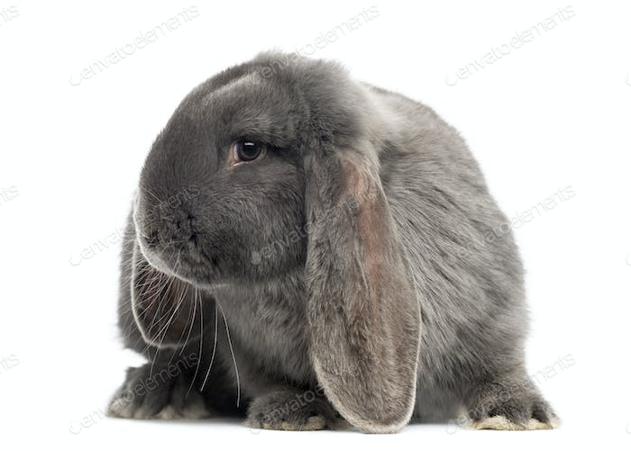French lop rabbit, isolated on white
