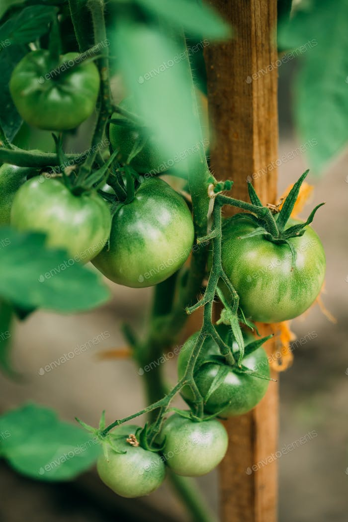 Green Growing Organic Tomato Homegrown Tomatoes In Vegetable Ga