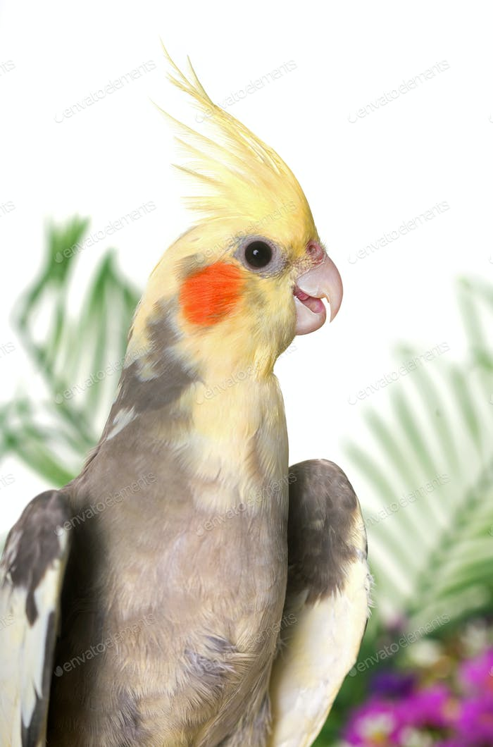 cockatiel in studio