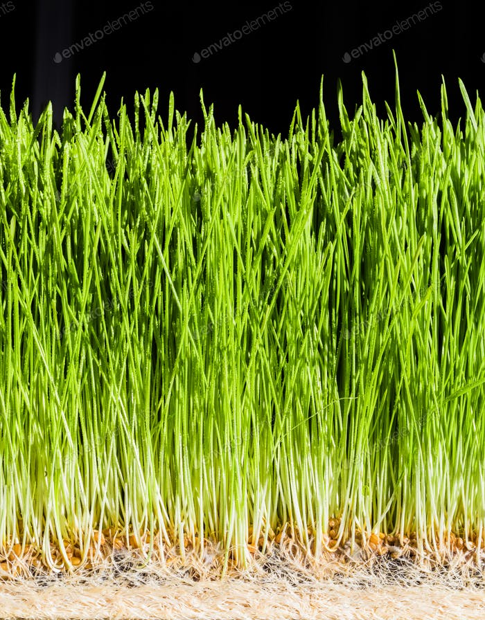 Wheatgrass details of the Roots, Seeds and Healthy Mature Sprout