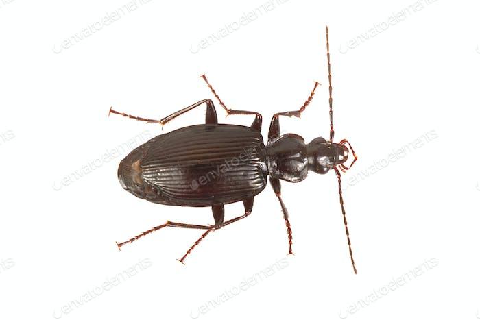 Gemahlener Käfer (Limodromus assimilis) auf weißem Hintergrund