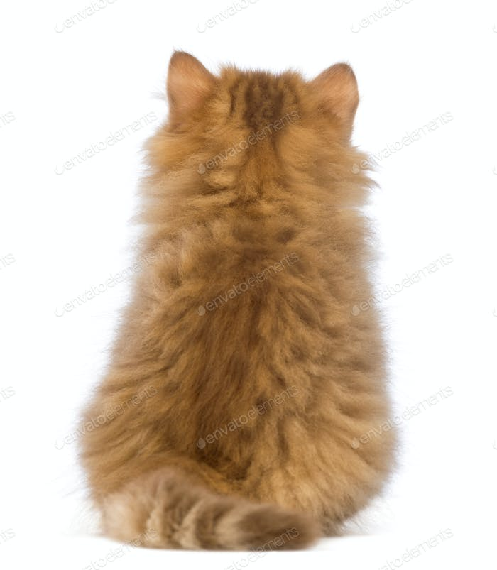 Rear view of a British Longhair kitten, 2 months old, sitting