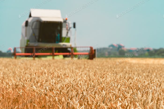 Combine harvester machine harvesting ripe wheat crops