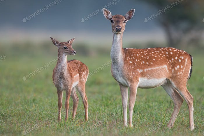 Doe and fawn fallow deer, dama dama, in autumn colors