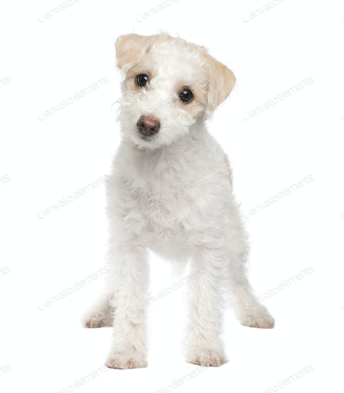 puppy Mixed-Breed Dog between maltese dog and a jack russel (5 months)