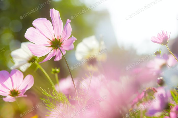 Cosmos Flower with sun flare